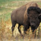 Yellowstone Wildlife Spotlight: American Bison