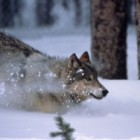 Yellowstone Wildlife Spotlight: Gray Wolf