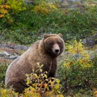 Yellowstone Wildlife Conservation: Save the Bears