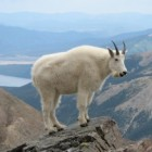 Yellowstone Wildlife Spotlight: Mountain Goat