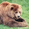 What's the Difference Between Black Bears and Grizzly Bears?