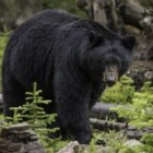 Fun Facts About Bears in Yellowstone