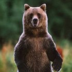 Myth #3: If a Bear is standing on its hind legs, then it is getting ready to charge you….run!!!