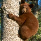 Myth #2: If charged by a Bear, climb a tree