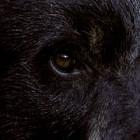 Myth #1: Bears have bad eyesight