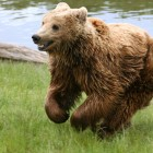 Myth #4: Bears can't run downhill