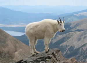 yellowstonegoat