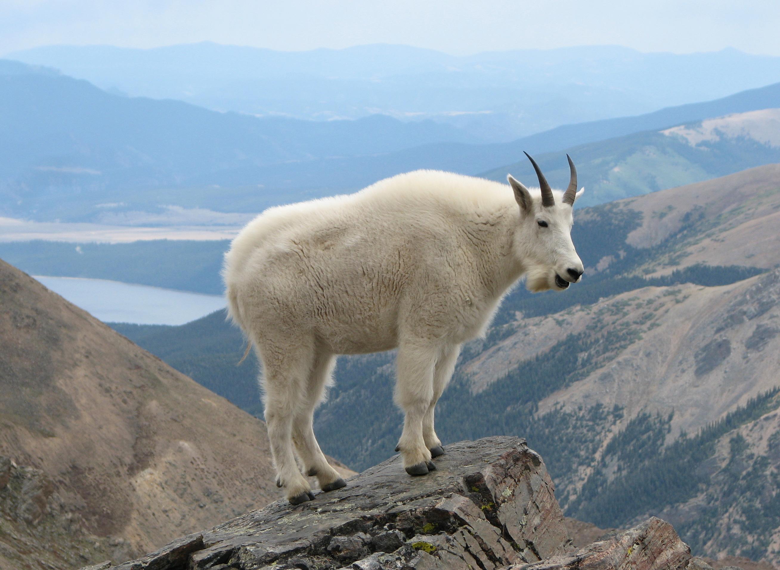 Yellowstone Wildlife Spotlight Mountain Goat on Animal Facts Pronghorn