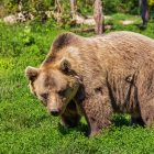 Why Bears are Important to the Environment