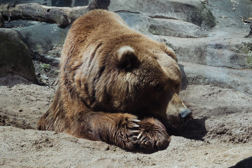 how long do bears hibernate. Black Bedroom Furniture Sets. Home Design Ideas
