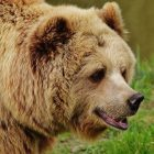 Fun Facts about Grizzly Bear Hibernation