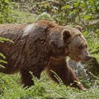 Brown Bears Vs. Grizzly Bears