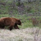Kinds of Bears You Are Likely To Spot In National Parks