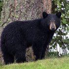 What Does Bear Poop Look Like?